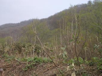 タラの木全景
