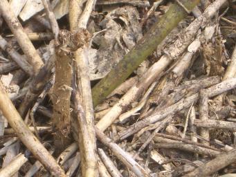 タラの木(ブドウ畑)
