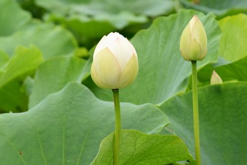 270703 蓮根の花8