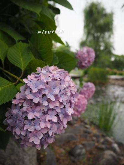 桜の流れ…あじさい