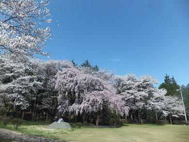 枝垂れ桜と