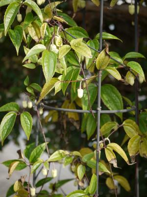 Clematis anshunensis