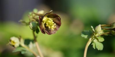 Aquilegia viridiflora Chocolate Soldier
