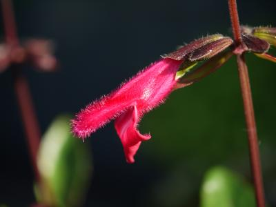 Salvia buchananii