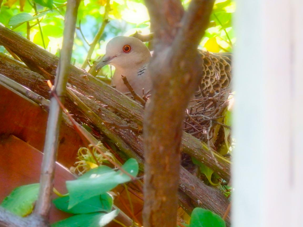 キジバト抱卵
