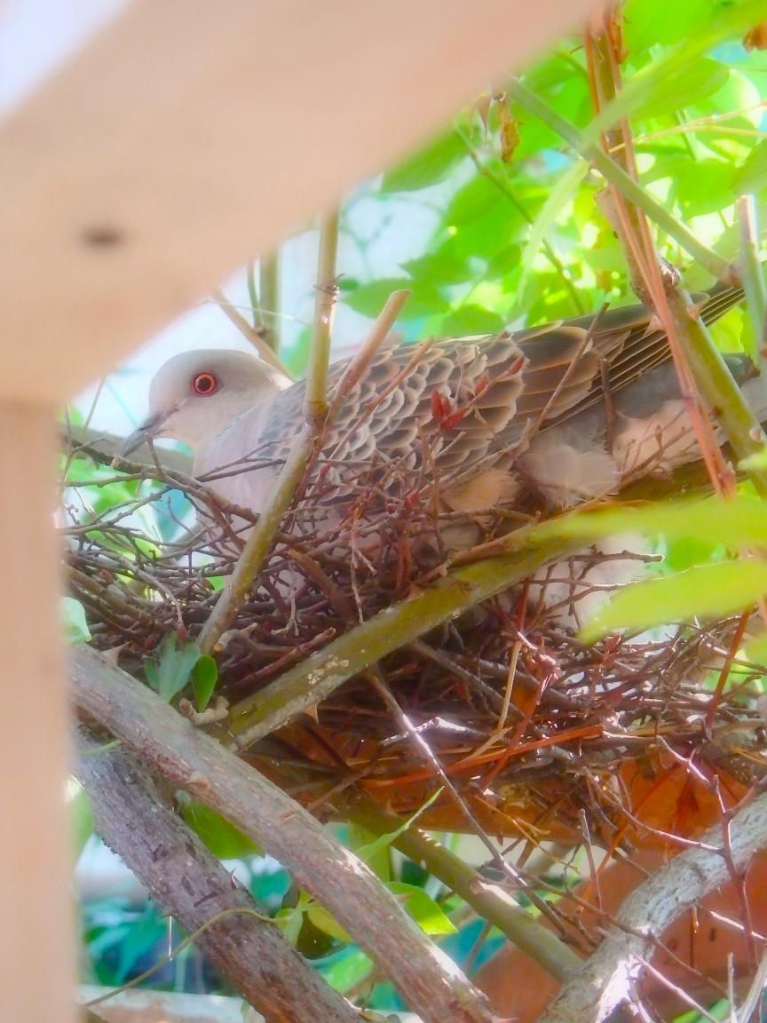 キジバト抱卵2