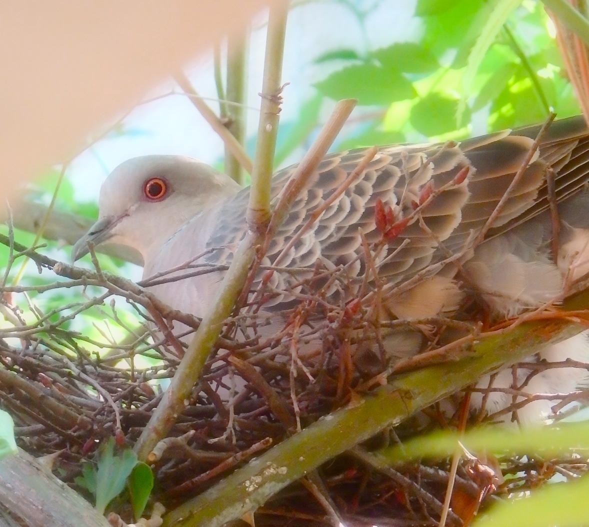 キジバト抱卵3