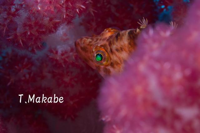 伊豆海洋公園のオキゴンベ