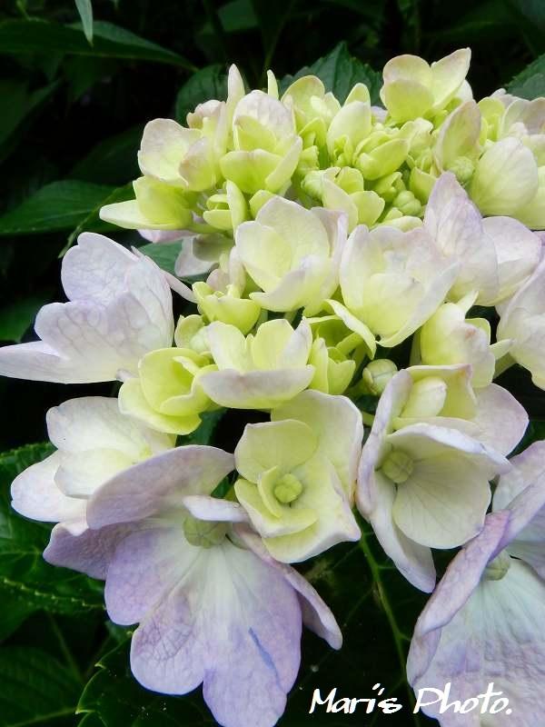 紫陽花 (12)