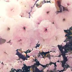 八重桜_convert_20150422215606