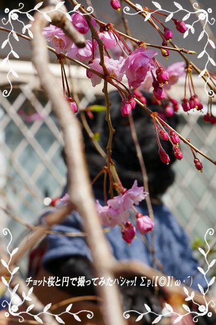 桜と円うつらない