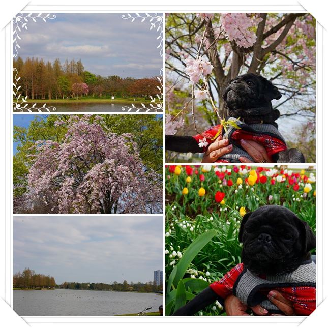 catsmaru桜