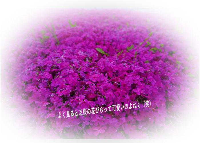 芝桜可愛い