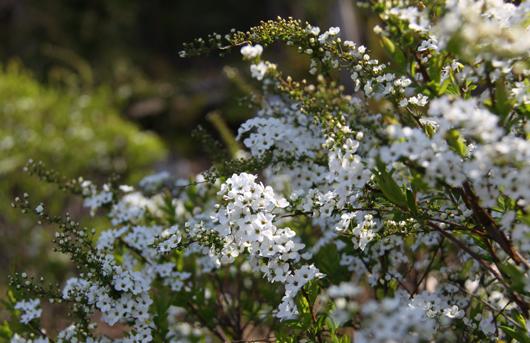 9_白い花