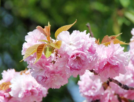 2015の八重桜2