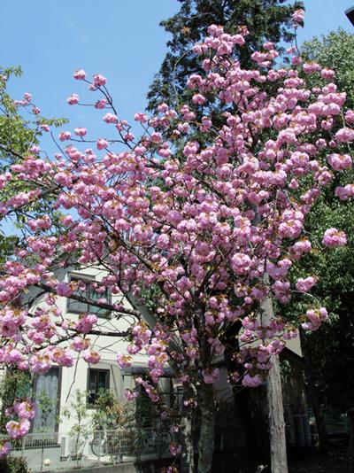 2015の八重桜1