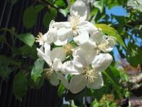 2015 4月岩手のリンゴの花