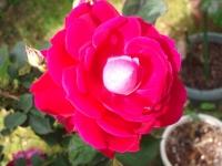 201505 バラ
