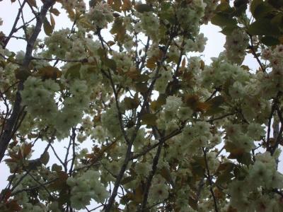 満開のウコン桜