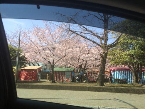 車の窓からの桜