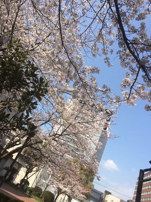 看護学部校内の桜