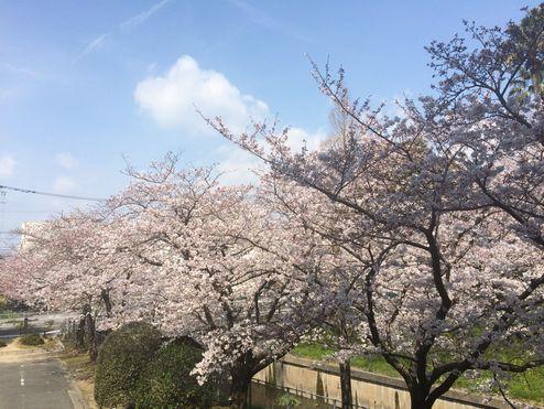 図書館からの桜