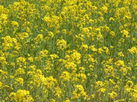 2204高麗の菜の花畑2
