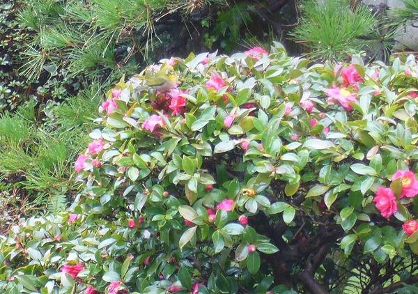 山茶花にメジロがやってきて 27.1.30