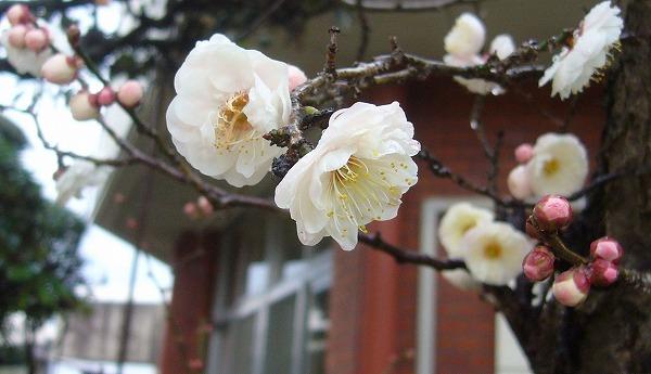 花びらが八重の白梅 27.2.5