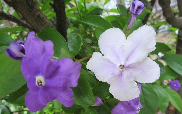 マツリカ 青紫と白 27.5.19