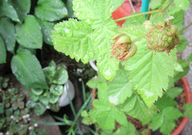 木苺の実緑 27.5.21