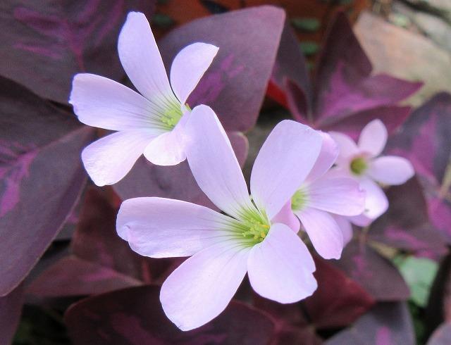 紫の舞 カタバミ 27.6.25