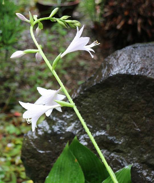 ギボウシの花一本 27.6.27