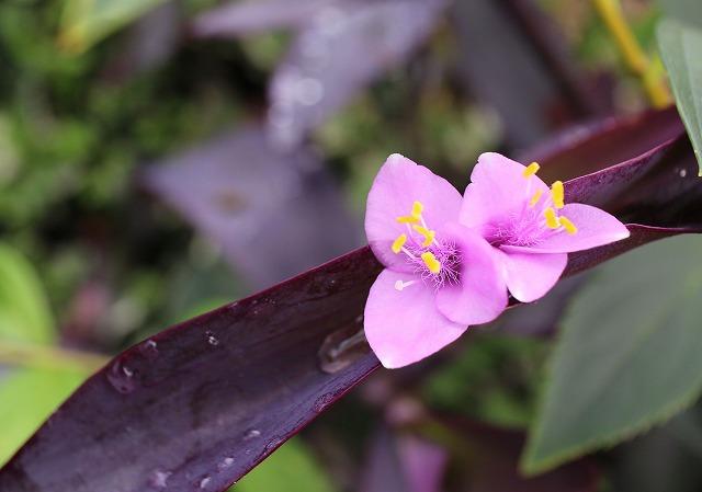 紫オオツユクサ:柿の木の元に 27.7.24