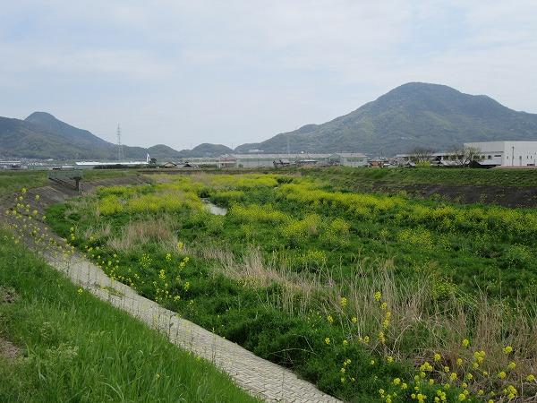高瀬川からし菜 北方面 27.4.21