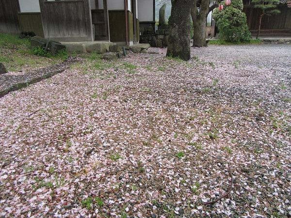 散った桜の花ビラ 雨 27.4.14