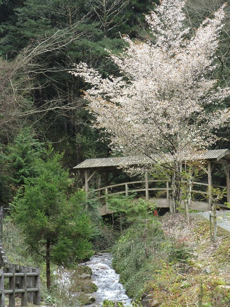 山桜 27.4.14