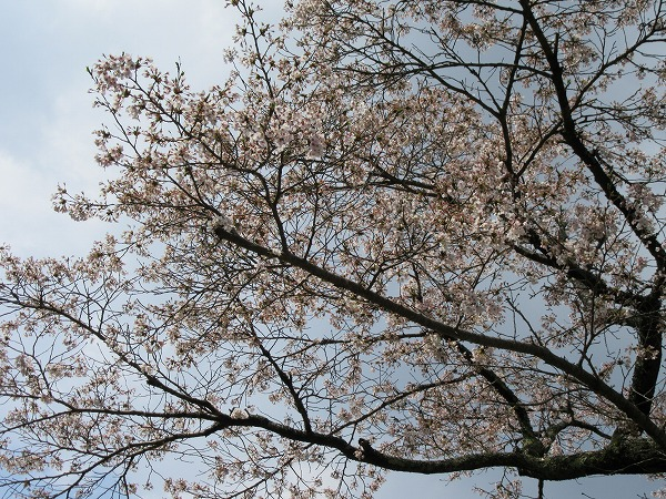 ソメイヨシノ 青空 27.4.14