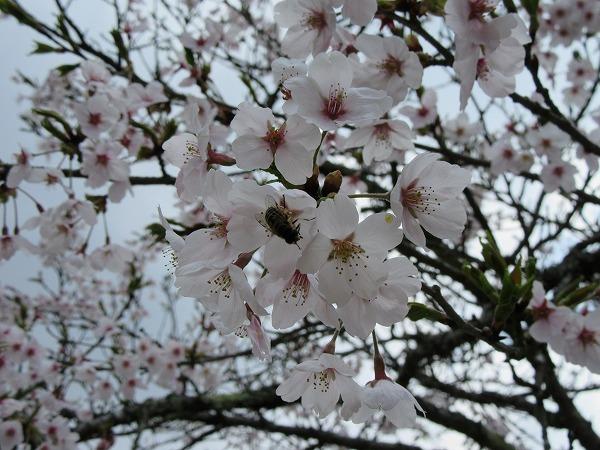 桜にみつばち 27.4.14