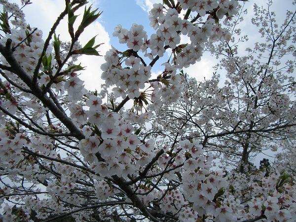 桜満開 旧吹屋小学校 27.4.14