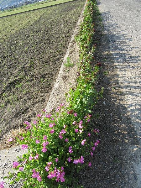 母の花作り ヒゲナデシコ 27.4.19