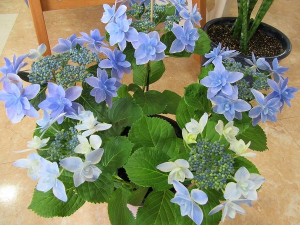 紫陽花(コンペイトウ)27.4.16