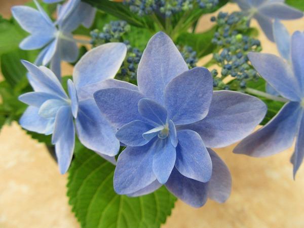 紫陽花の花 27.4.16