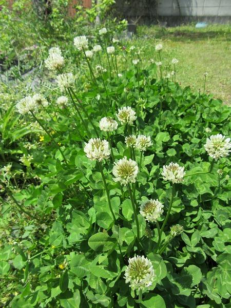 白詰草の花 27.4.22