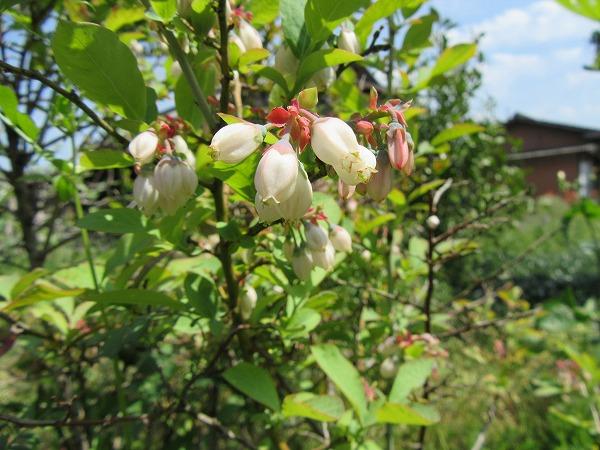 ブルーベリーの花も白色