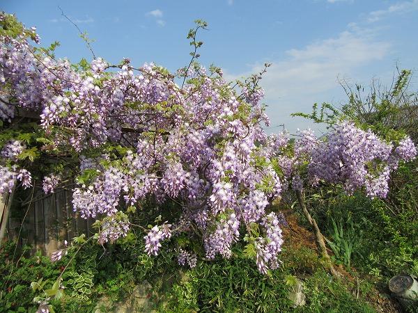 紫の藤 27.4.25