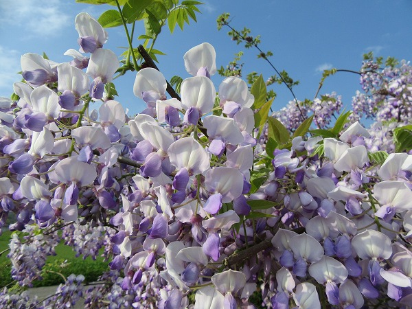 藤の花がきれい 27.4.25