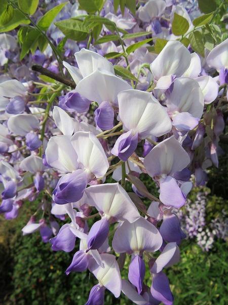 藤の花アップ 27.4.25