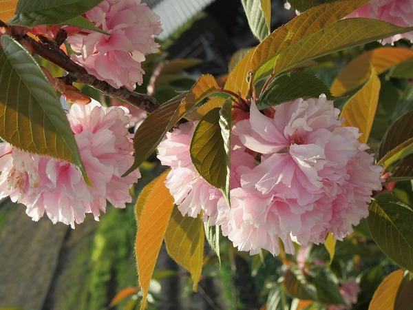 八重桜 土手満開 27.4.24