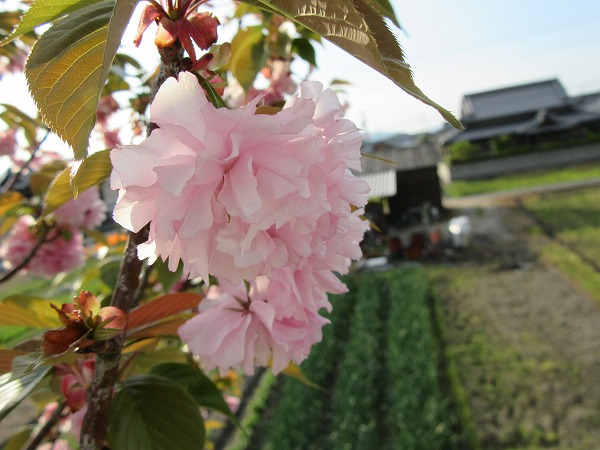 八重桜 高瀬川土手 27.4.24